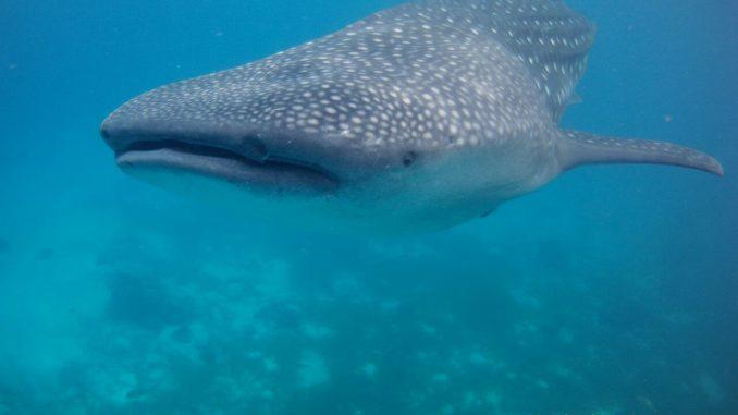 الغطس مع الحيتان في الفلبين